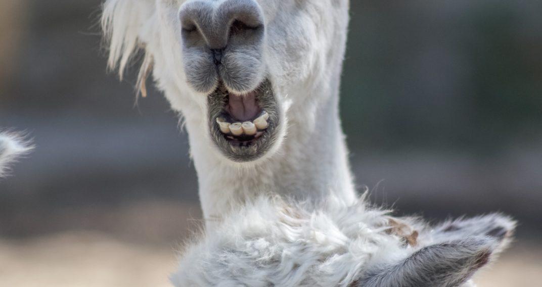 Lama : traitement contre le covid-19